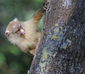 Swartstert Marmoset.Aan die buitewyke van die stad Cuiaba,is daar 'n klein stukkie woud oor,waar 'n Braziliaan,manmoedig veg om ontwikkelaars weg te hou.Hy het hom oor hierdie apies ontferm.