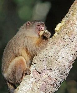 Volwasse marmoset.Hulle is omnivore en eet ook sap en gom van bome.