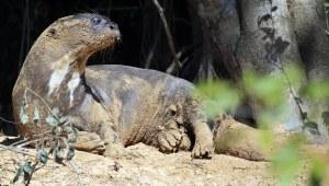 Otters het massiewe sterte wat soos 'n propeller werk en hulle dus ongelooflik rats in die water maak.