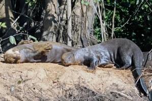 Otters leef in familiegroepe tot soveel as agt.Bedags jag hulle in die water en snags slaap hulle in holtes op die rivieroewer.