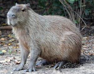 Die mannetjie Capybara is groter en swaarder as die wyfie en het 'n kenmerkende dik knop op sy neus.Dit lyk soos 'n eelt.Hierdie knaap het sy gebied afgebaken en kraai koning op sy eie mishoop!