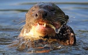Gelukkig is pelshandel verbied,maar hierdie waternarre word bedreig deur vernietiging van habitat en die verswakking van watergehalte.Natuurbewaarders skets 'n bleek prentjie vir die voortbestaan van hierdie kostelike diere.