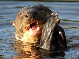 Die reuse otter(Pteronura brasiliensis)  kan tot 1.8m lank word en weeg maklik 35 kilogram.