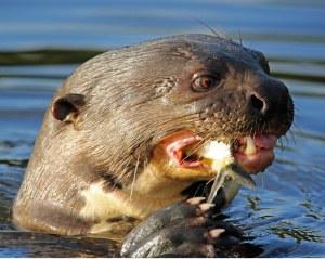 Hierdie otters is hoogs bedreigd en na raming is daar ongeveer 1000 oor in die Pantanal.