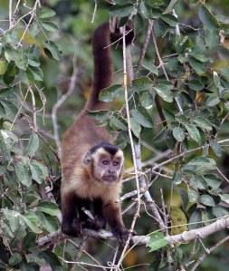 Black-striped tufted capuchin.Hierdie apies kom in groot familiegroepe voor,tot soveel as veertig.