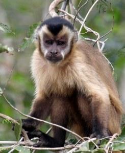 Capuchins eet vrugte,sade,klein reptiele,eiers en selfs klein voeltjies.