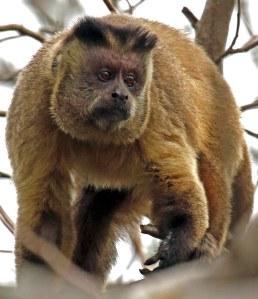 Capuchin mannetjie.Daar is gewoonlik net een mannetjie by 'n familiegroep.