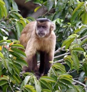 Capuchins is baie lawaaierig en sal selfs op die grond loop en kos soek.
