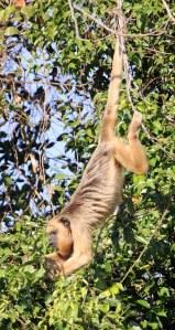 Howler Monkey.Hierdie aapsoort is geweldig vokaal vroegoggend en skemeraand.Sy stert is soos 'n ekstra ledemaat en laat hom maklik klou aan takke.Hulle kom selde grond toe en leef in die blaredak van vrugte,blomme en meestal blare.