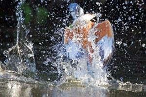 Ringed Kingfisher,vang 'n vissie.