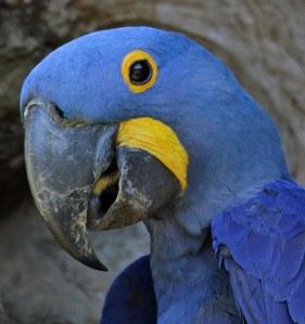 Die pragtigeHyacinth Macaw,wat wereldwyd skandelik as kouvoel aangehou word!Hulle is uiters bedreigd.Dit was fantasties om hulle in die natuur te sien.Dis die wereld se grootste papegaai.