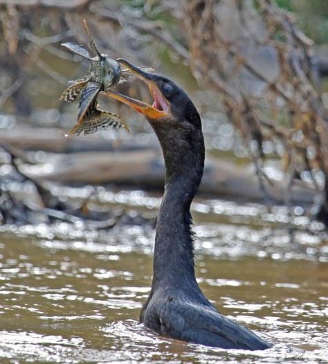 Neotropic Cormorant,lyk net soos ons gewone duiker.