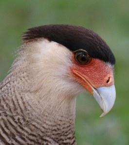 Die Southern Crested Caracara leef grotendeels van aas en word dikwels saam met aasvoels opgemerk.